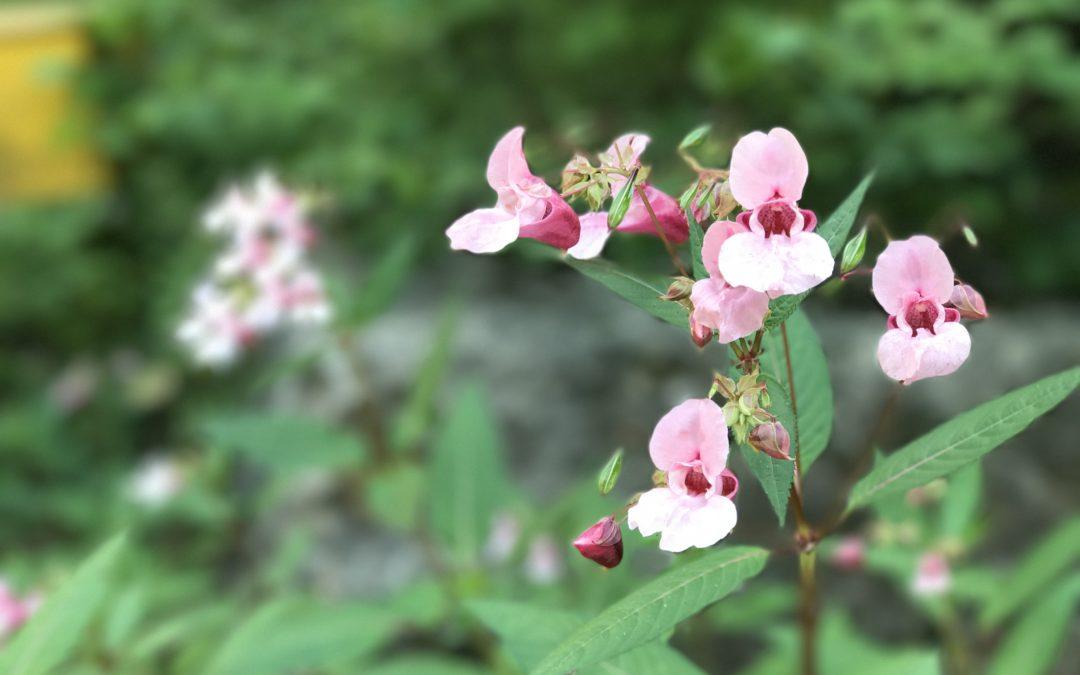 Balsaminen, Heilpflanze oder Unkraut